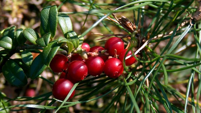 Borówka brusznica - dojrzała, czerwona