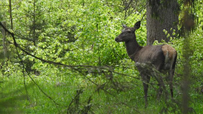Łania na leśnej polanie
