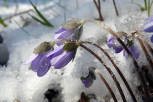 Przylaszczki w śniegu